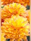 Catalogues & collections Truffaut : Retrouvez la sélection de fleurs de Toussaint dans votre jardinerie