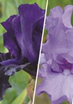Bons Plans Delbard : 3 iris en conteneur achetés = -15% de réduction sur une sélection