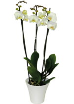 Catalogues et collections Botanic : L'orchidée Phalaenopsis + cache-pot à 19,90€